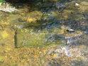 Ve Verměřovicích je Tichá Orlice velice mělká.