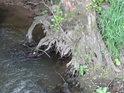 Vodní vzdušný kořen na levém břehu Tiché Orlice u Valdštejna.
